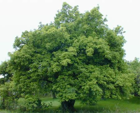 Деревья-вампиры