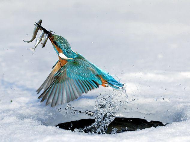Зимородок с рыбой вылетает из проруби