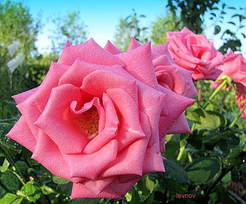 Розы-15 (500x414, 79 Kb)