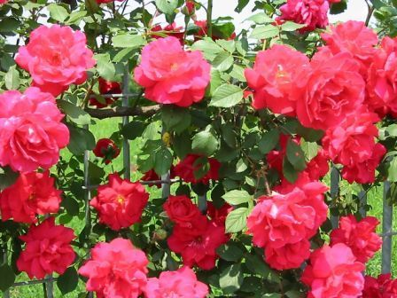 http://img0.liveinternet.ru/images/attach/c/1//57/177/57177737_Our_Rose_Bush_Web_Small.jpg