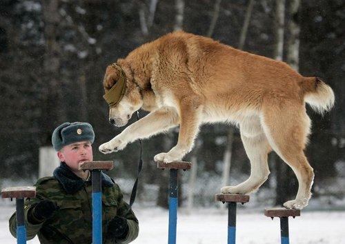 Собака в армии