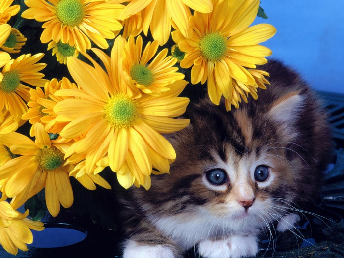 wallpapers_cats_627 (700x525, 129 Kb)
