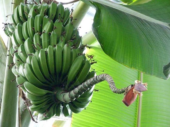 Царство бананов