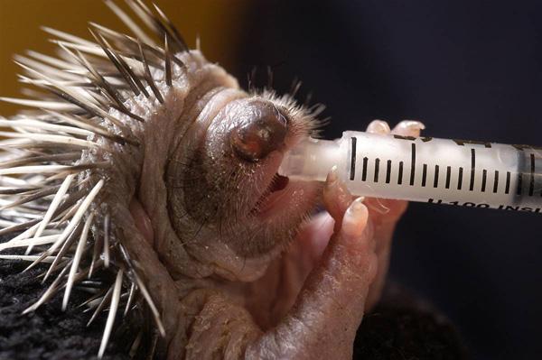 Этому ежику всего 48 часов от роду. Его выпаивают теплым козьим молоком. Девон, Англия. Guy Harrop / Whitehotpix / Zuma Press