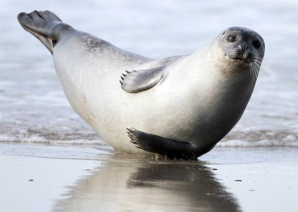 Детеныш тюленя отдыхает на берегу острова Хельголанд, северная Германия. Axel Heimken / AP
