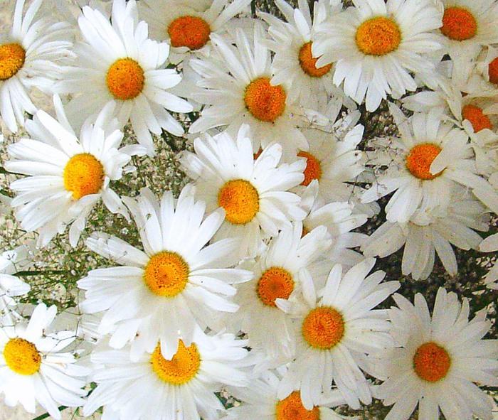 Цветы большие как ромашки