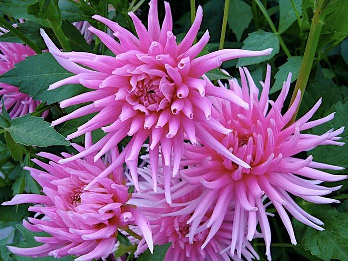 Сады Бучартов на острове Ванкувер. The Butchart Gardens. 55549