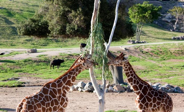 Парк Диких Животных (Wild Animal Park), San Diego 84931