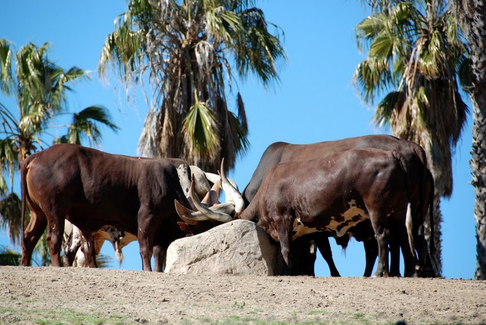 Парк Диких Животных (Wild Animal Park), San Diego 33178