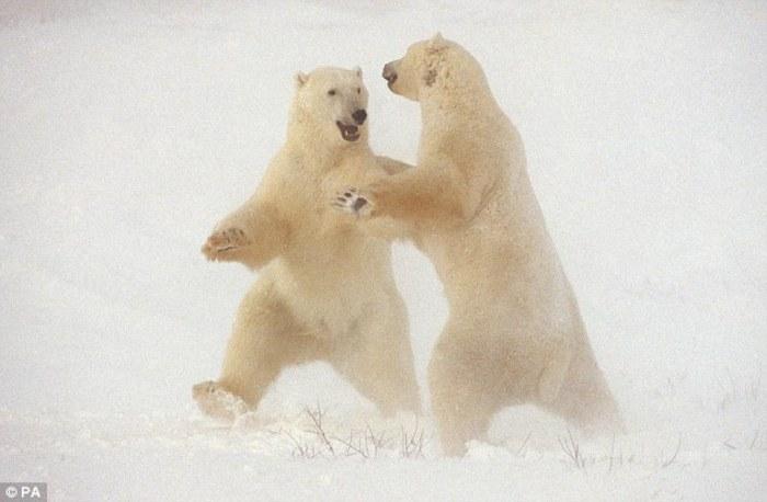 два свободных белых медведя пока еще без глонасса