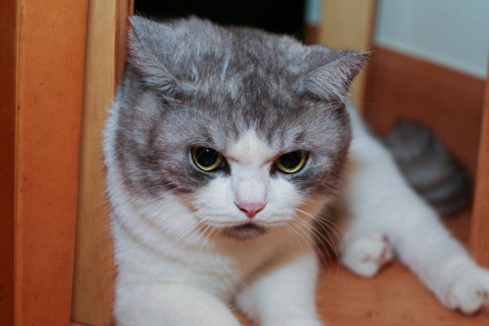 Кошка 12398