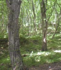 (200x231, 121Kb)Колхидский лес