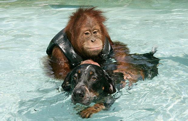 орангутанг и собака и северной калифорнии