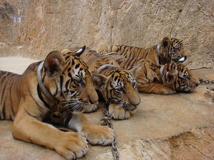 Тигровый храм (Tiger Temple) 42356