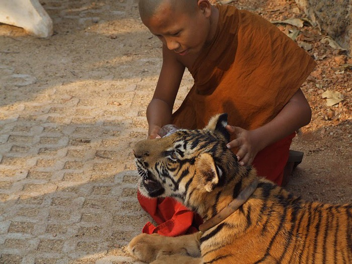 Тигровый храм (Tiger Temple) 69735