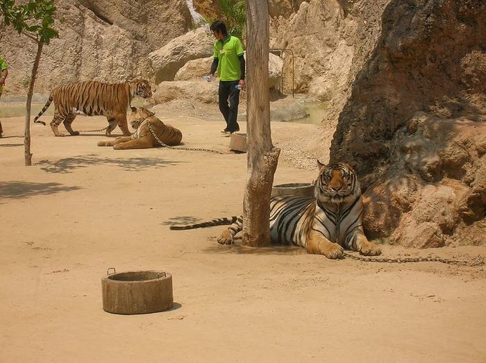 Тигровый храм (Tiger Temple) 76467