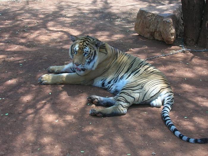 Тигровый храм (Tiger Temple) 77905