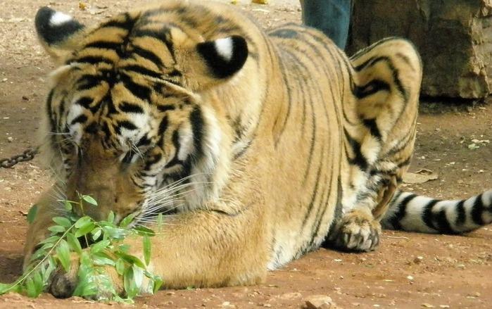 Тигровый храм (Tiger Temple) 68662