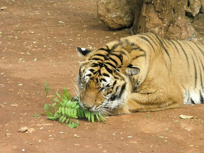 Тигровый храм (Tiger Temple) 70787