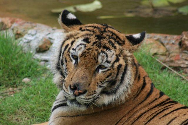 Тигровый храм (Tiger Temple) 90658