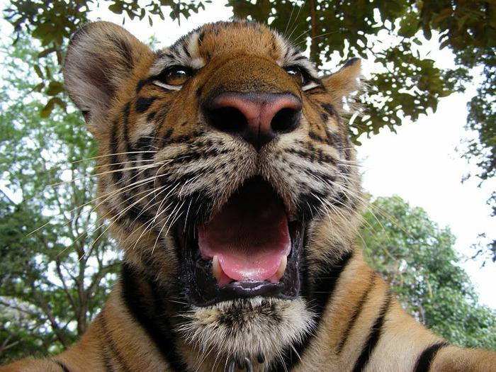 Тигровый храм (Tiger Temple) 51120