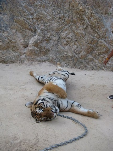 Тигровый храм (Tiger Temple) 43329