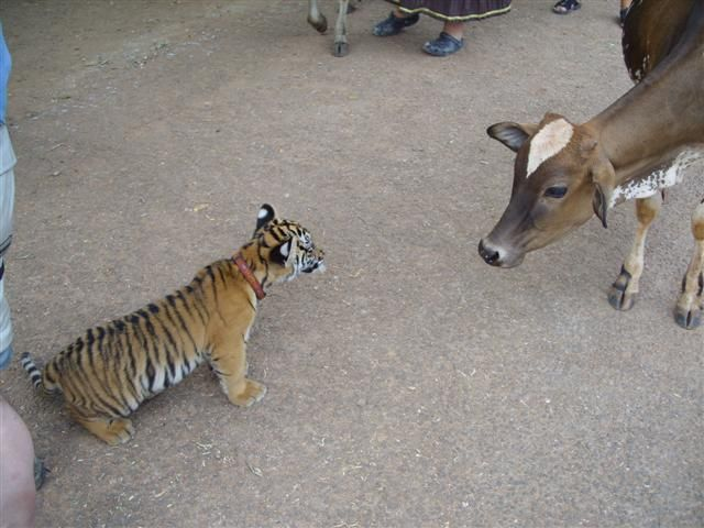 Тигровый храм (Tiger Temple) 83291
