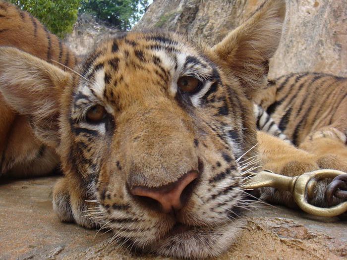 Тигровый храм (Tiger Temple) 30220