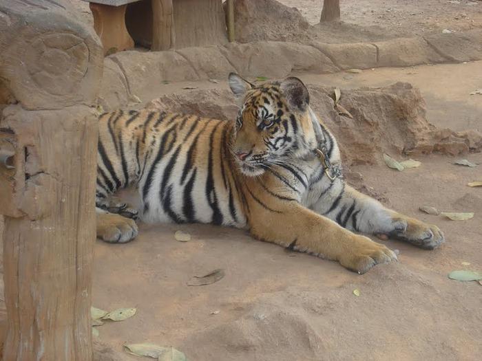Тигровый храм (Tiger Temple) 43090
