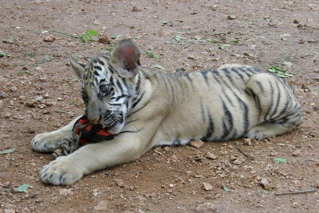 Тигровый храм (Tiger Temple) 86045