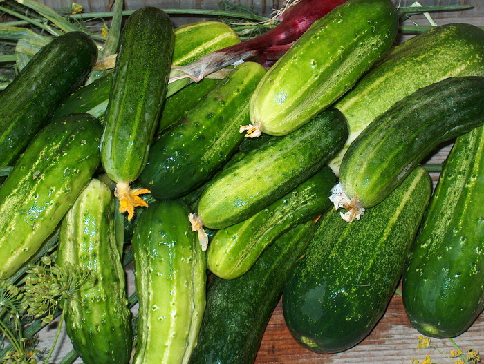 cucumbers and tomatoes – canned for the winter!