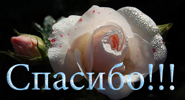 59498098_59170187_spasib_bel_roza (600x325, 70 Kb)