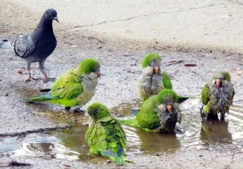 """Голубь попугаям: """"Понаехали тут..."""""""