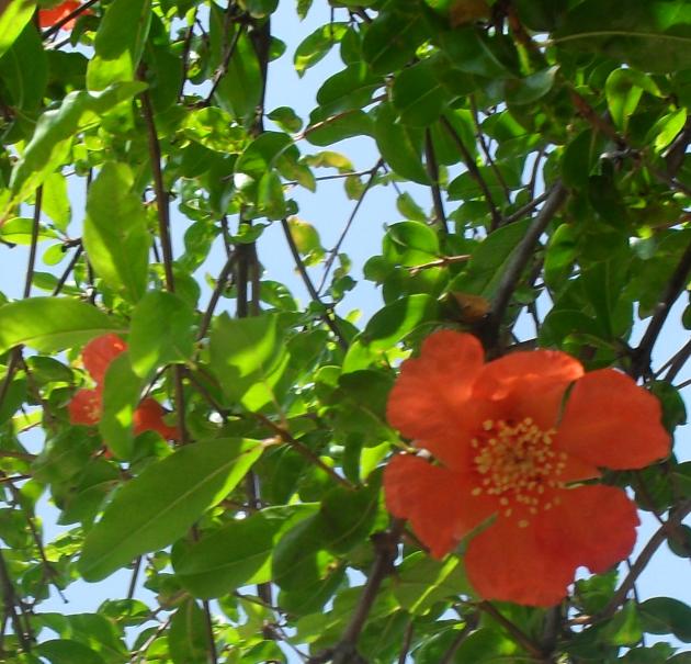 (630x605, 962Kb)Цветки гранатового дерева тоже не пахнут