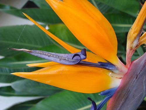 Райская птица цветок фото