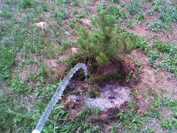 поливать деревья, ёлка