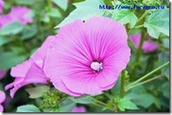 vv_flower_mallow_1_h_orig