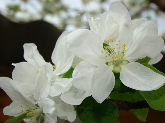 ябл цвет (699x524, 156 Kb)