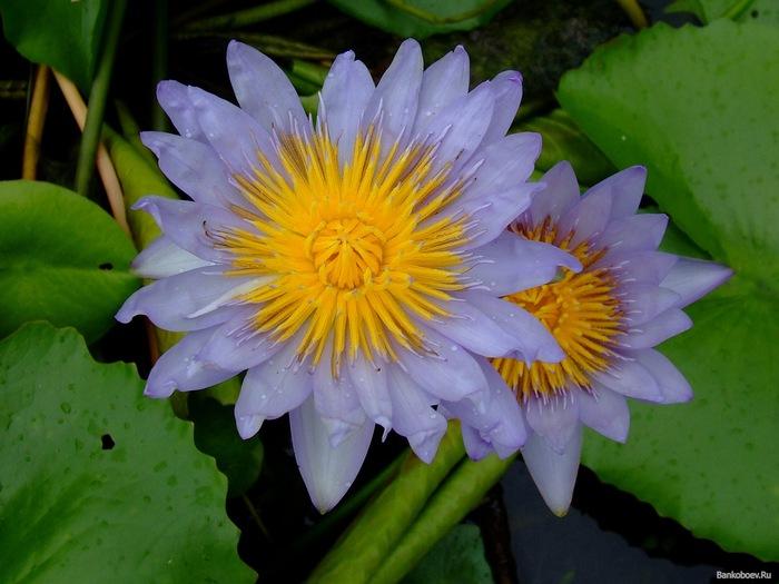 из цветов водяной лилии,