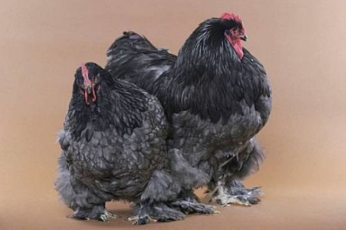 Beautiful Chickens In The World 85385