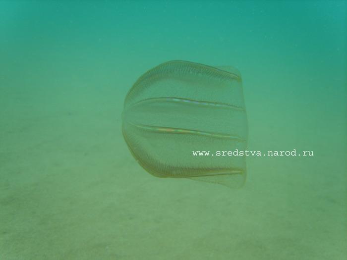 медуза, под водой, подводная съемка, подводные фотографии, фото под водой, краб, медуза, освещение подводное, подводный фотоаппарат, фото подводой, эротика под водой, черное море, каспий, озовское море, подводные тени, рыбалка, подводная рыбалка, крабы, морской конек