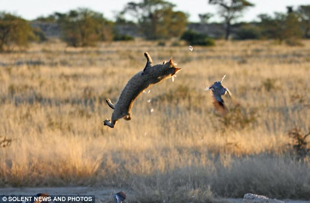 котенька охотится на голубей в южной африке