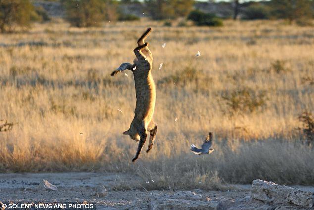 дикая кошка охотится в ботсване