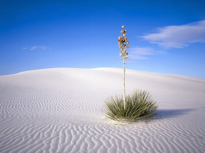 Yucca Tree, White Sands National Monument, New Mexico, USA