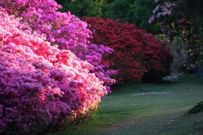 Сад Леонардсли - Leonardslee gardens 37983