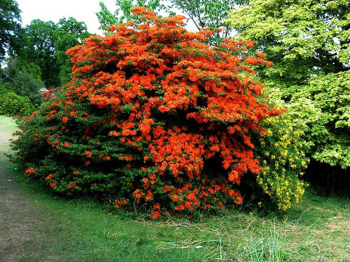 Сад Леонардсли - Leonardslee gardens 99812