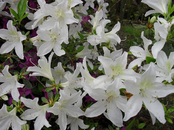 Сад Леонардсли - Leonardslee gardens 88748