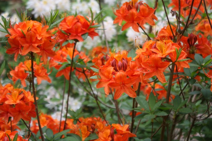 Сад Леонардсли - Leonardslee gardens 76864