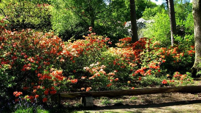Сад Леонардсли - Leonardslee gardens 14329