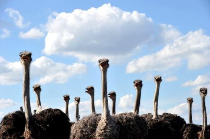 Первый украинский фестиваль страусов примерно в 50 км от Киева, Украина, 4 сентября 2010 года.
